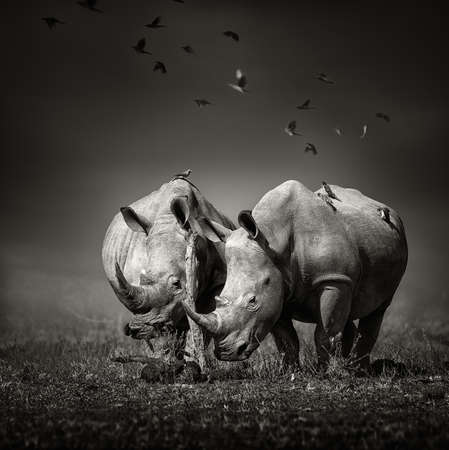 Two white Rhinoceros in the field with birds flying 스톡 콘텐츠
