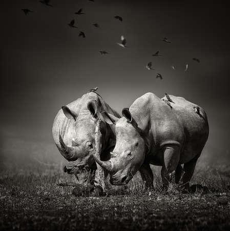 Twee witte neushoorn in het veld met vogels vliegen