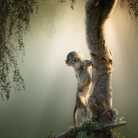 Baby Chacma Baboon playing in a tree with sunrays from the back (Digital Art) Reklamní fotografie
