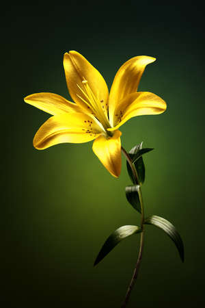 Yellow lily with stem and leaves against green background Banque d'images - 99773308