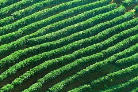 Row of green-tea trees in farm photo