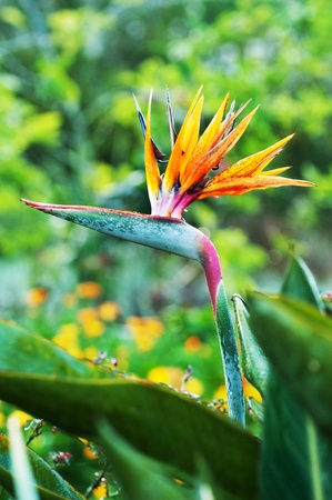 bird of paradise: The birds of paradise flower in park