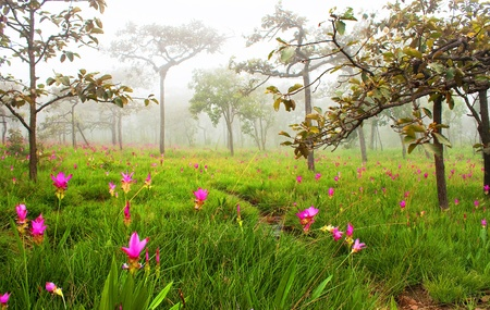 Field of wild flowers in PA HIN NGAM NATIONAL PARK ,CHAIYAPHUM ,THAILAND