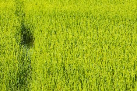 Paddy Rice Fields photo