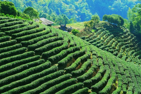 tea plantation: Row of green-tea trees in farm