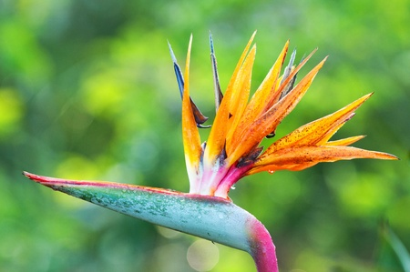 bloom bird of paradise: The birds of paradise flower in park