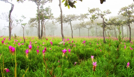 Wild flowers siam tulips blooming in the jungle in Chaiya phoom photo