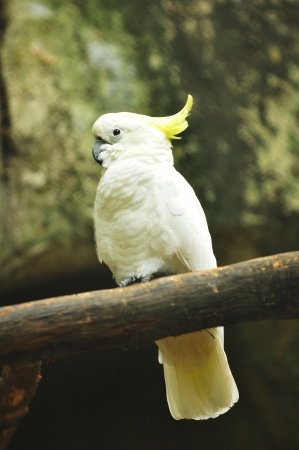 Sulphur-crested Cockatoo  photo