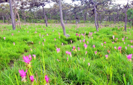 Field of wild flowers in PA HIN NGAM NATIONAL PARK ,CHAIYAPHUM ,THAILAND  Stock Photo - 22337569