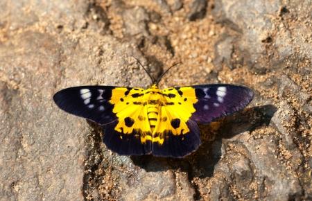 eyespot: yellow butterfly Stock Photo