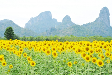 Sunflower field and rock mountain  photo