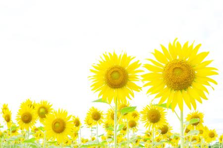 Sunflower border isolated on white  photo