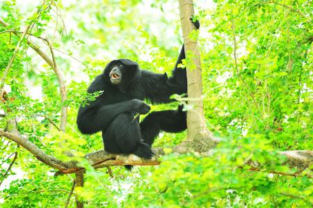 hominid: il maschio della scimmia di colore nero si siede su un albero nel bosco