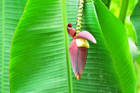 kerala culture: banana blossom on the tree