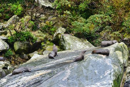 fiordland: Fur seals (Arctocephalus forsteri) colony in Milford Sound, Fiordland National Park. Southland - New Zealand