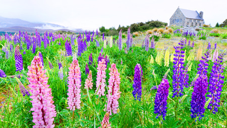 good shepherd: blooming lupins and the church of the good shepherd, lake tekapo, new zealand south island Stock Photo