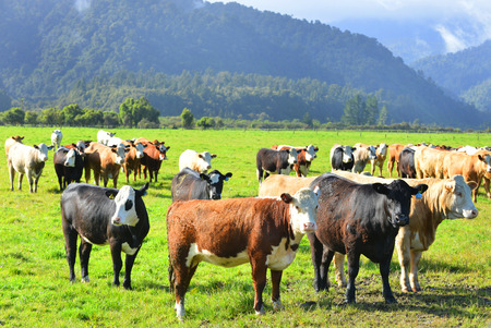 country side: Cattle enjoying the lush green pastures of New Zealands country side