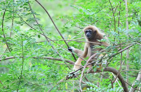 biped: white gibbon monkey on the tree