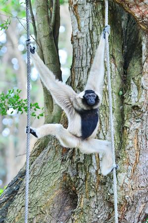 hominid: white gibbon monkey