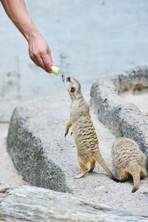 at meerkat: Meerkat in the zoo.