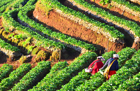 agriculturalist: CHIANGMAI,THAILAND - JANUARY 12 : Farmer pick up strawberry from Doi Ang Khang plantation in the morning on January 12, 2015. Doi Ang Khang Mountain is the main plantation of strawberry in Thailand.