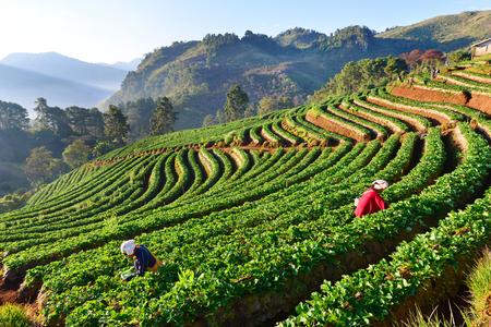 CHIANGMAI,THAILAND - JANUARY 12 : Farmer pick up strawberry from Doi Ang Khang plantation in the morning on January 12, 2015. Doi Ang Khang Mountain is the main plantation of strawberry in Thailand.