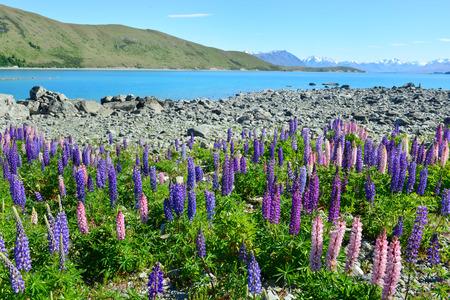 alpine zone: Field of lupin wildflowers on the shore of lake Tekapo in New Zealand Stock Photo