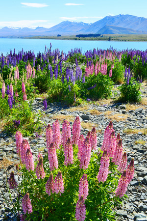 lupin: Field of lupin wildflowers on the shore of lake Tekapo in New Zealand Stock Photo