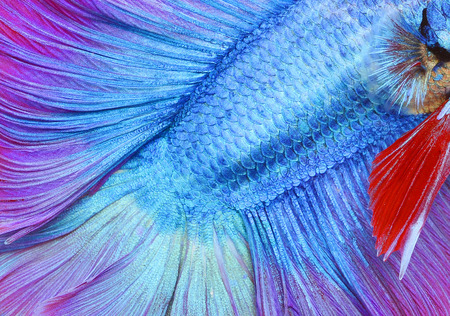 blue fish: Texture of tail siamese fighting fish Stock Photo
