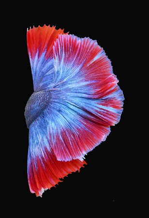 anima: Texture of tail siamese fighting fish Stock Photo