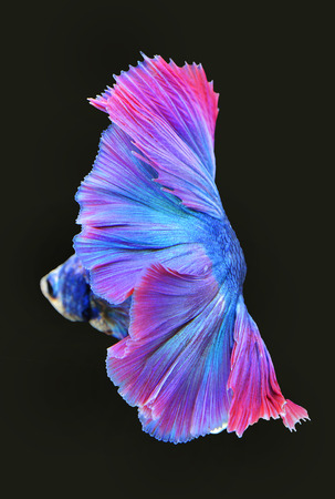 aggression: Texture of tail siamese fighting fish Stock Photo