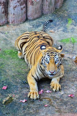 tigresa: Bengal tiger Foto de archivo