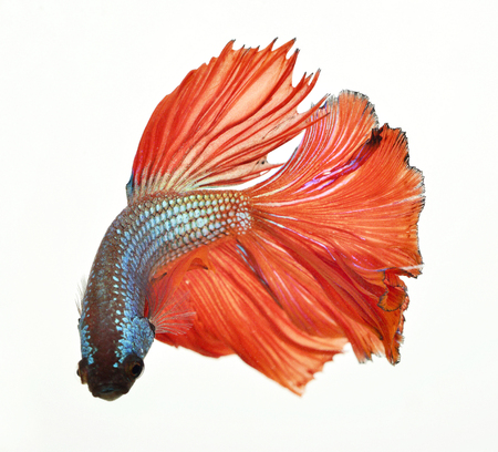 Red siamese fighting fish, betta fish isolated on white background