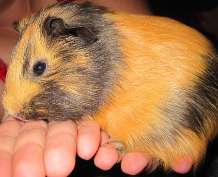 black and red guinea pigs photo