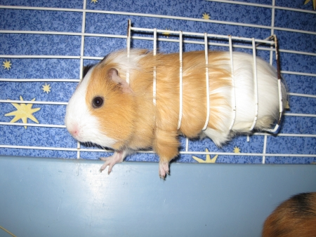 pig out: orange and white guinea pig in a cage Stock Photo