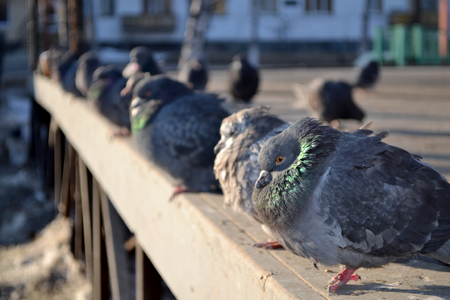 Pigeons sit on the fence in winter in the city