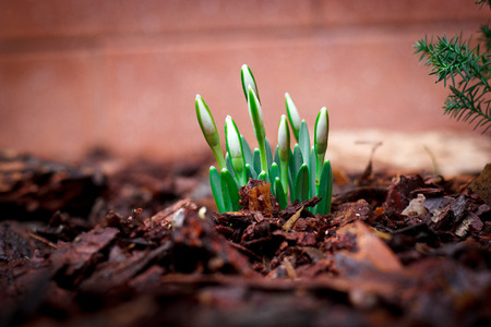 Lily of the valley sprouts sprout from the ground