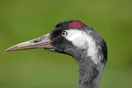 Eurasian crane head shot showing close up detail photo