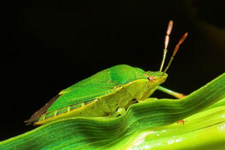 green shield bug: Green Shield Bug - Palomena prasina. On a Iris leaf.