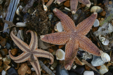 stranded: Two starfish curling up their toes after being stranded