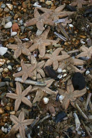 stranded: Lots of dead starfish after being stranded after a storm