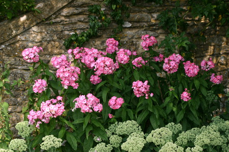 greenish: Pink and greenish white flowers against a wall