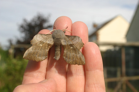 sphingidae: Poplar hawk moth on a hand with buildings in the background Stock Photo