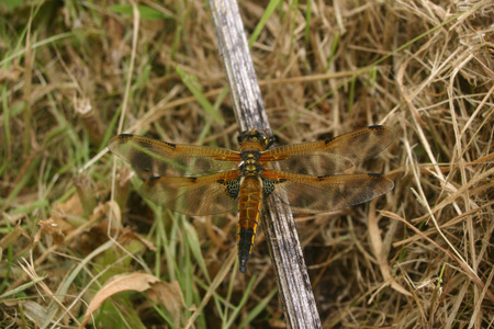 emerged: Freshly emerged four-spotted chaser dragonfly Libellula quadrimaculata