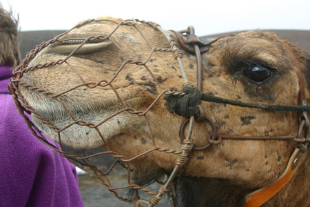 muzzle: Camel with muzzle