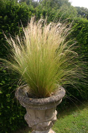 ornamental: Ornamental grass in jardiniere