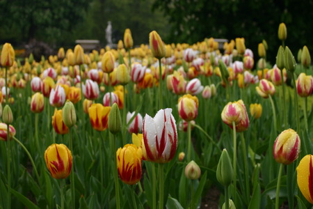 splashed: White and yellow tulips with red streaks and splashed with rain