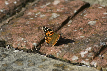lepidoptera: Painted lady butterfly Stock Photo
