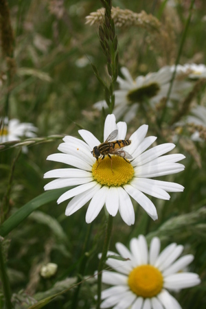 pollinators: Ox-eye daisy with hoverfly