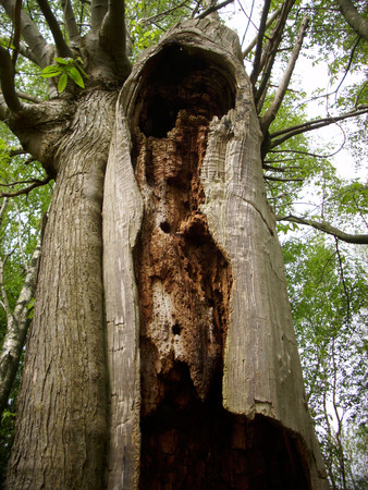 rotting: Rotting tree trunk